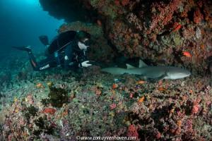 Nurse shark op de Malediven
