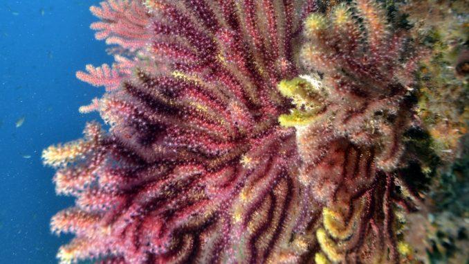 Medes koraal - foto door Mark Barto